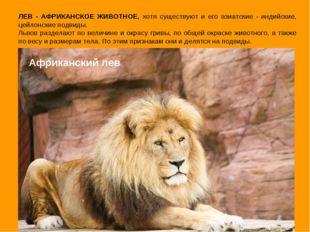 Африканский лев ЛЕВ - АФРИКАНСКОЕ ЖИВОТНОЕ, хотя существуют и его азиатские -