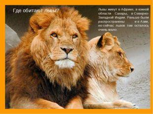 Где обитают львы? Львы живут вАфрике, вюжной области Сахары, вСеверно-Запа