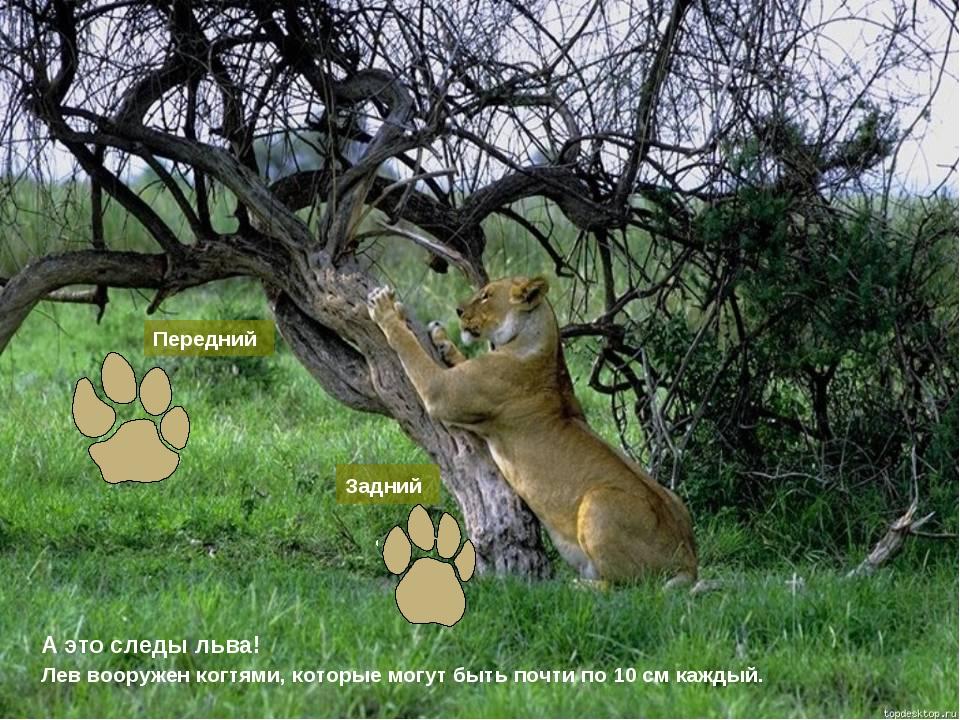 А это следы льва! Передний Задний Лев вооружен когтями, которые могут быть по...