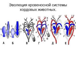 Эволюция кровеносной системы хордовых животных.