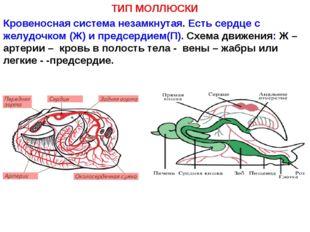ТИП МОЛЛЮСКИ Кровеносная система незамкнутая. Есть сердце с желудочком (Ж) и