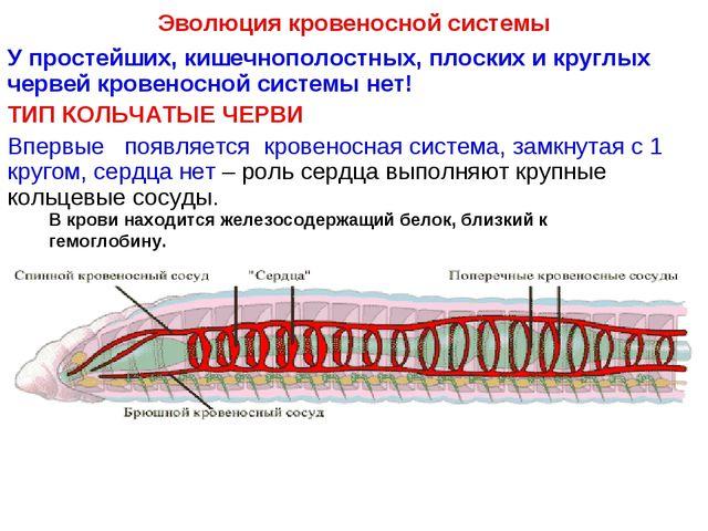 Эволюция кровеносной системы У простейших, кишечнополостных, плоских и круглы...