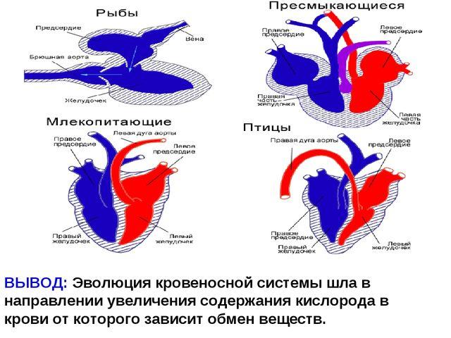 ВЫВОД: Эволюция кровеносной системы шла в направлении увеличения содержания к...