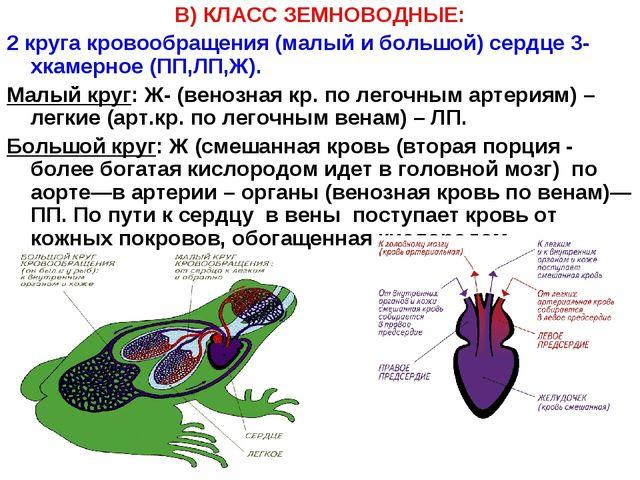 В) КЛАСС ЗЕМНОВОДНЫЕ: 2 круга кровообращения (малый и большой) сердце 3-хкаме...