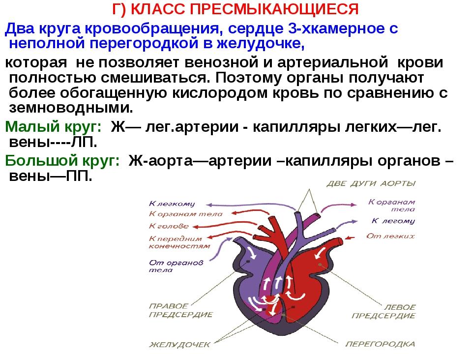 Г) КЛАСС ПРЕСМЫКАЮЩИЕСЯ Два круга кровообращения, сердце 3-хкамерное с неполн...