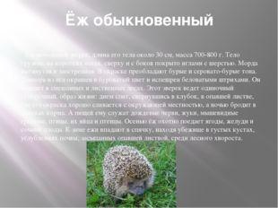 Ёж обыкновенный Ёж небольшой зверек, длина его тела около 30 см, масса 700-80