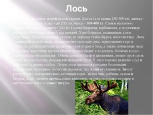 Лось Один из крупных зверей нашей страны. Длина тела самца 250-300 см, хвоста