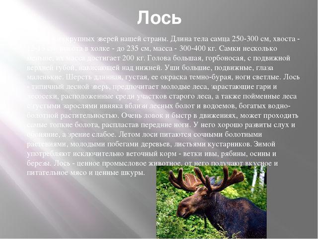 Лось Один из крупных зверей нашей страны. Длина тела самца 250-300 см, хвоста...