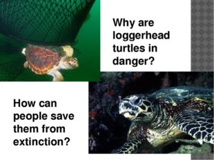 Why are loggerhead turtles in danger? How can people save them from extinction?