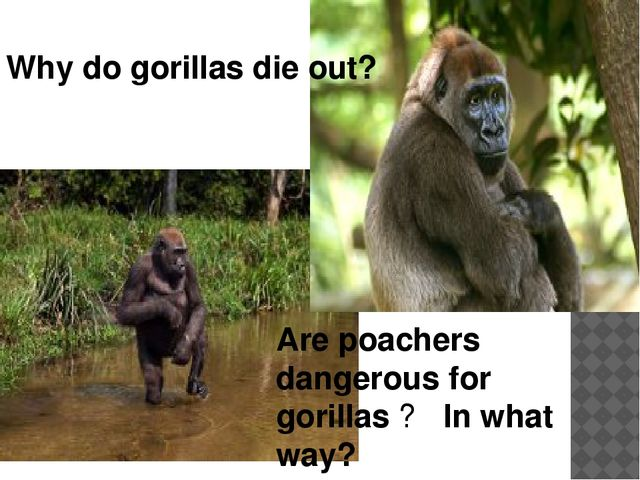 Why do gorillas die out? Are poachers dangerous for gorillas ? In what way?