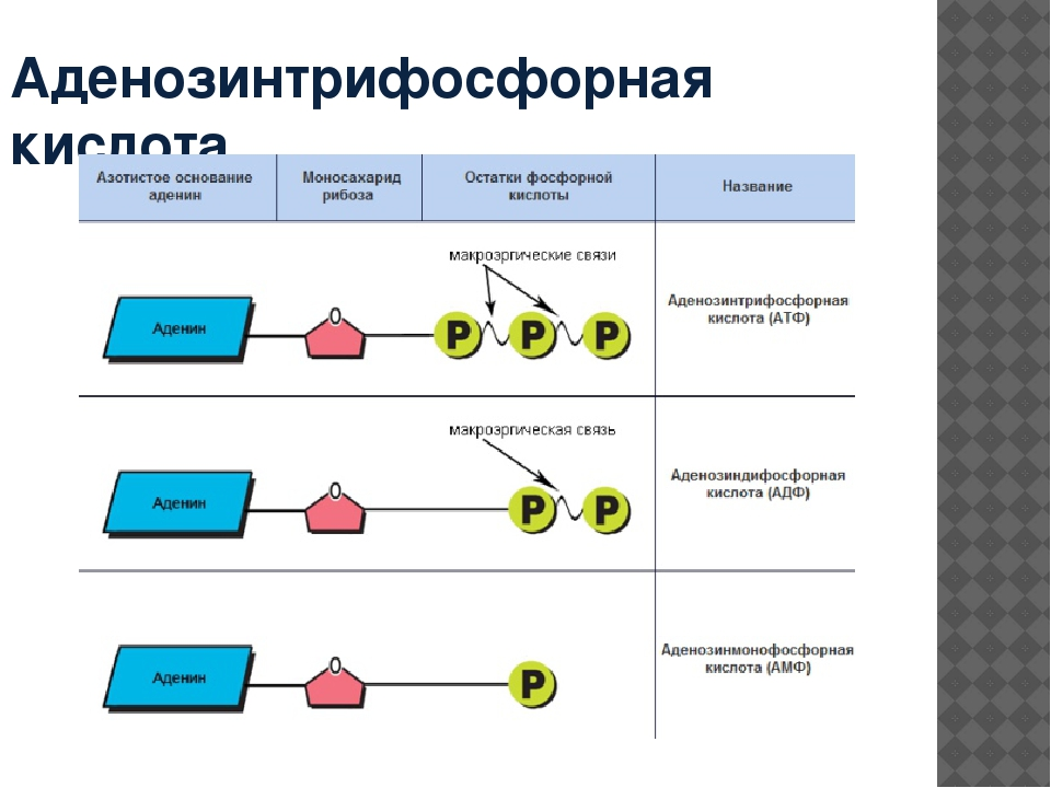 Аденозинтрифосфорная кислота