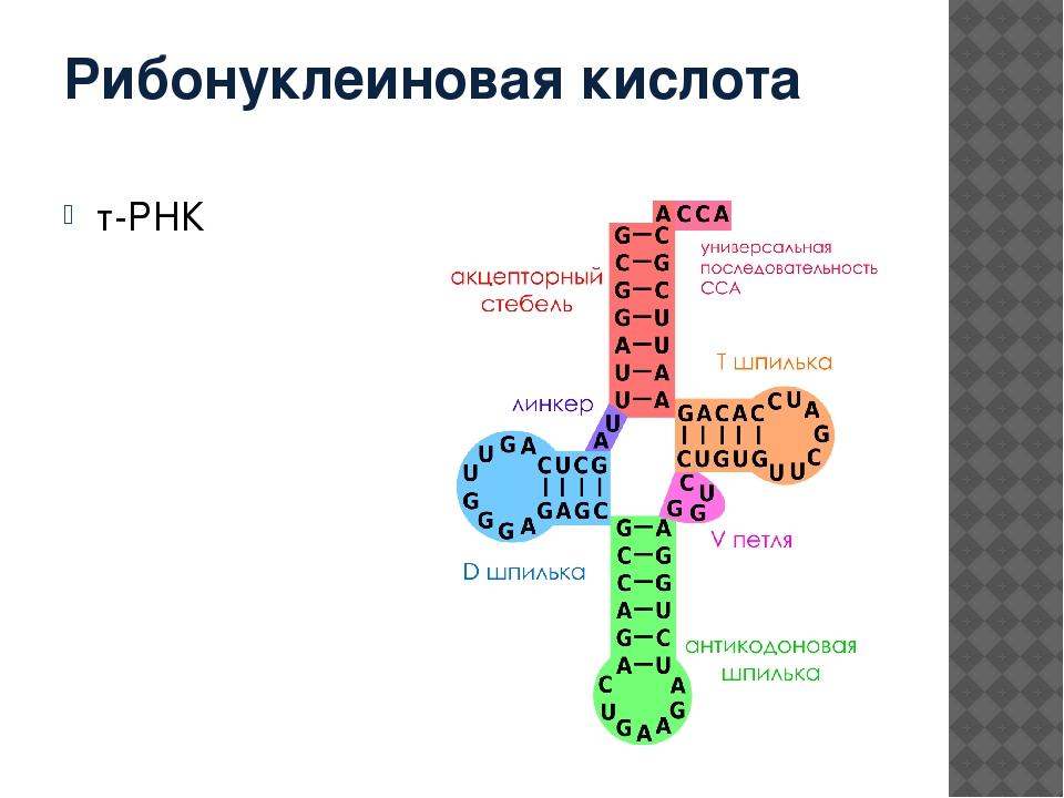 Рибонуклеиновая кислота т-РНК