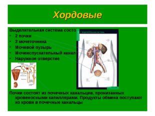 Хордовые Выделительная система состоит из: 2 почки 2 мочеточника Мочевой пузы