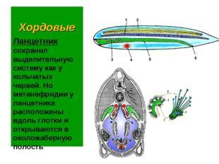 Хордовые Ланцетник сохранил выделительную систему как у кольчатых червей. Но