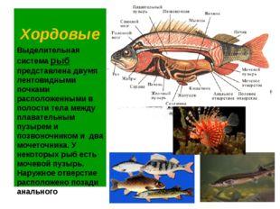 Хордовые Выделительная система рыб представлена двумя лентовидными почками ра