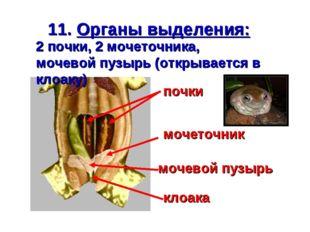 11. Органы выделения: 2 почки, 2 мочеточника, мочевой пузырь (открывается в к