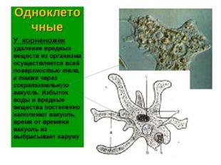 Одноклеточные У корненожек удаление вредных веществ из организма осуществляет