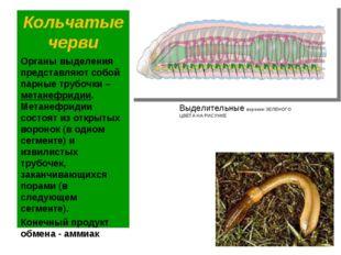 Кольчатые черви Органы выделения представляют собой парные трубочки – метанеф