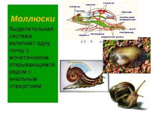 Моллюски Выделительная система включает одну почку с мочеточником, открывающи