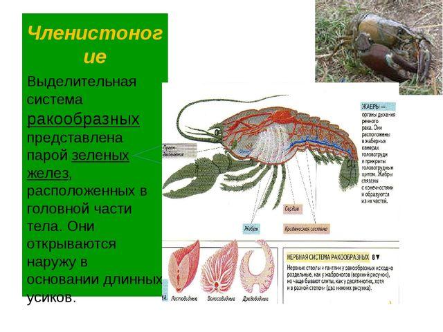 Членистоногие Выделительная система ракообразных представлена парой зеленых ж...