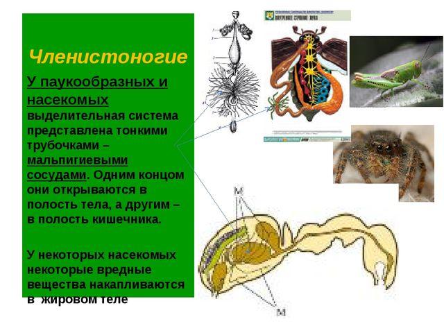 Членистоногие У паукообразных и насекомых выделительная система представлена...