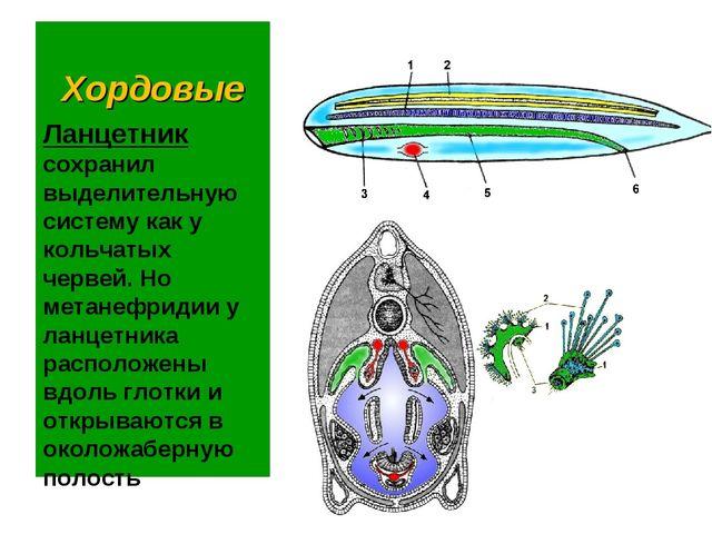 Хордовые Ланцетник сохранил выделительную систему как у кольчатых червей. Но...