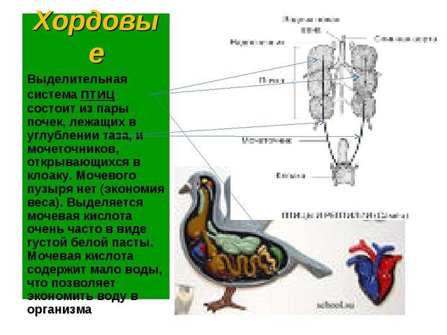 Хордовые Выделительная система птиц состоит из пары почек, лежащих в углублен...