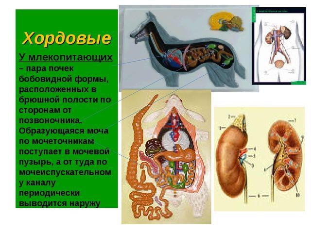 Хордовые У млекопитающих – пара почек бобовидной формы, расположенных в брюшн...