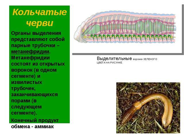 Кольчатые черви Органы выделения представляют собой парные трубочки – метанеф...