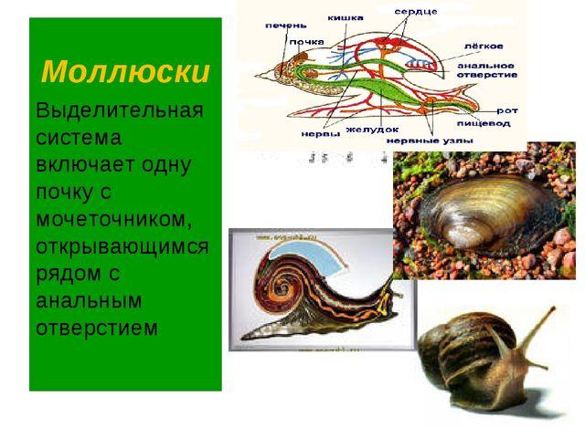 Моллюски Выделительная система включает одну почку с мочеточником, открывающи...