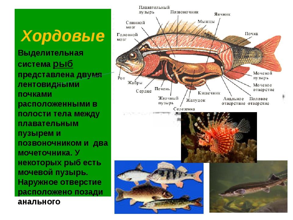 Хордовые Выделительная система рыб представлена двумя лентовидными почками ра...