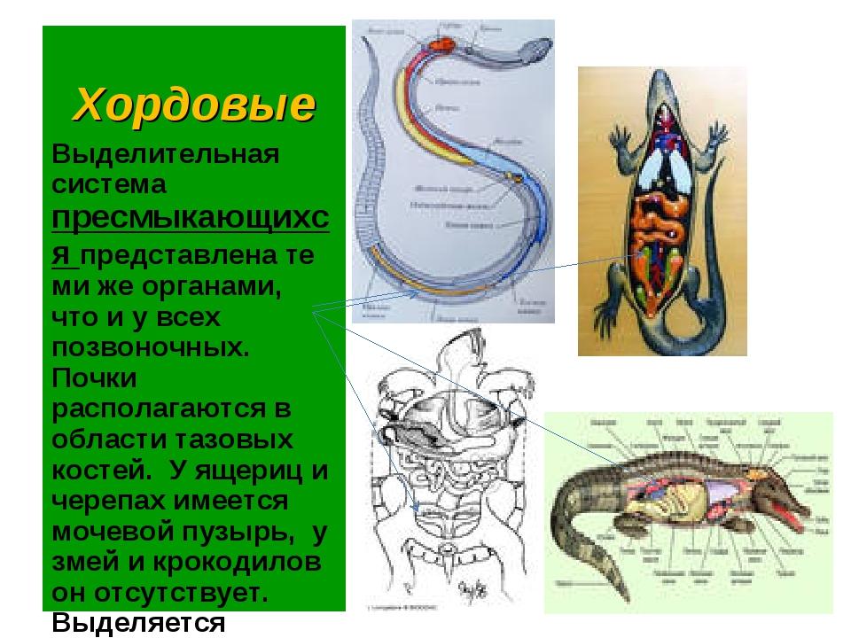 Хордовые Выделительная система пресмыкающихся представлена те ми же органами,...