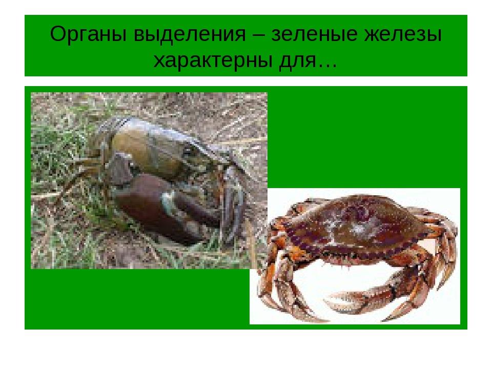 Органы выделения – зеленые железы характерны для…