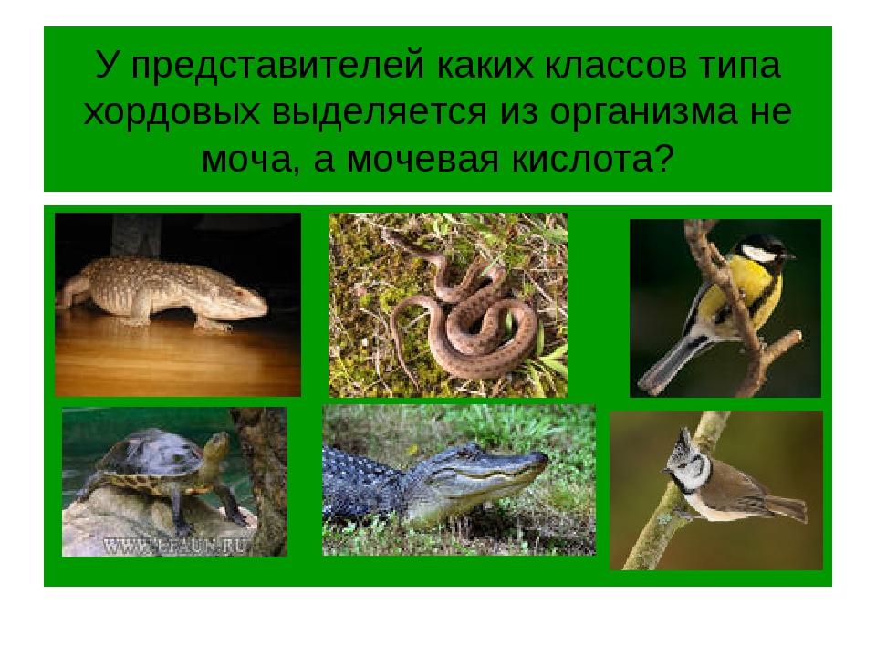 У представителей каких классов типа хордовых выделяется из организма не моча,...