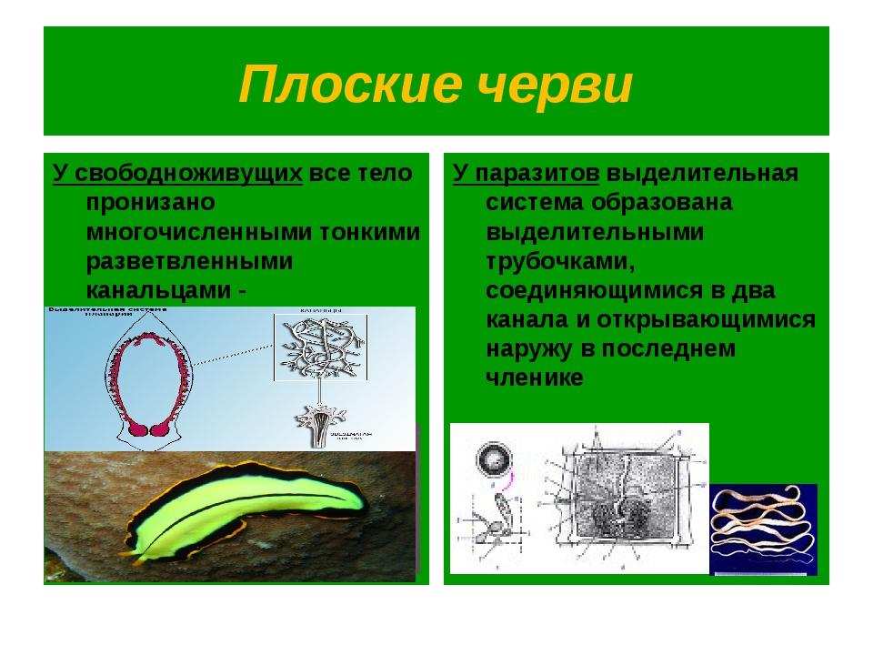 Плоские черви У свободноживущих все тело пронизано многочисленными тонкими ра...