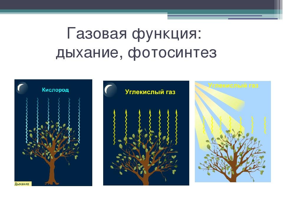 Газовая функция: дыхание, фотосинтез