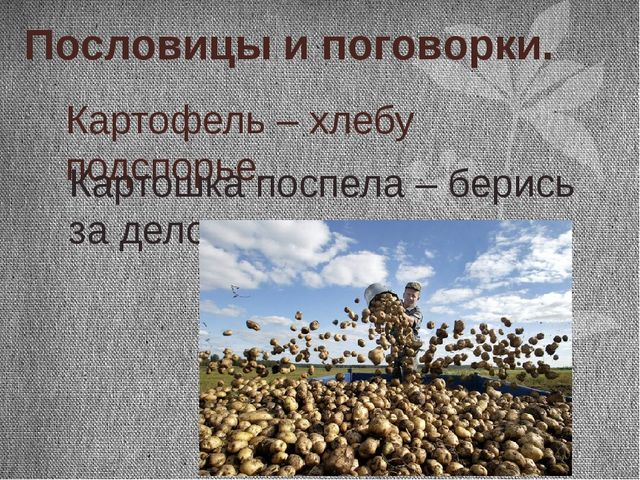 Пословицы и поговорки. Картофель – хлебу подспорье. Картошка поспела – берись...