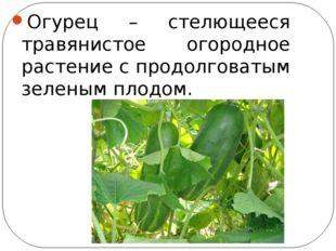 Огурец – стелющееся травянистое огородное растение с продолговатым зеленым п