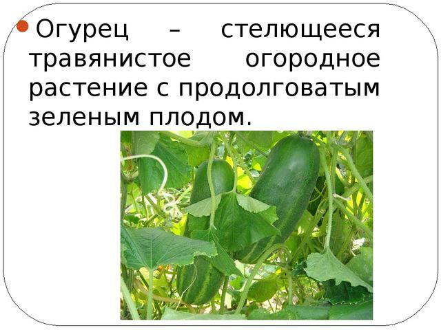 Огурец – стелющееся травянистое огородное растение с продолговатым зеленым п...