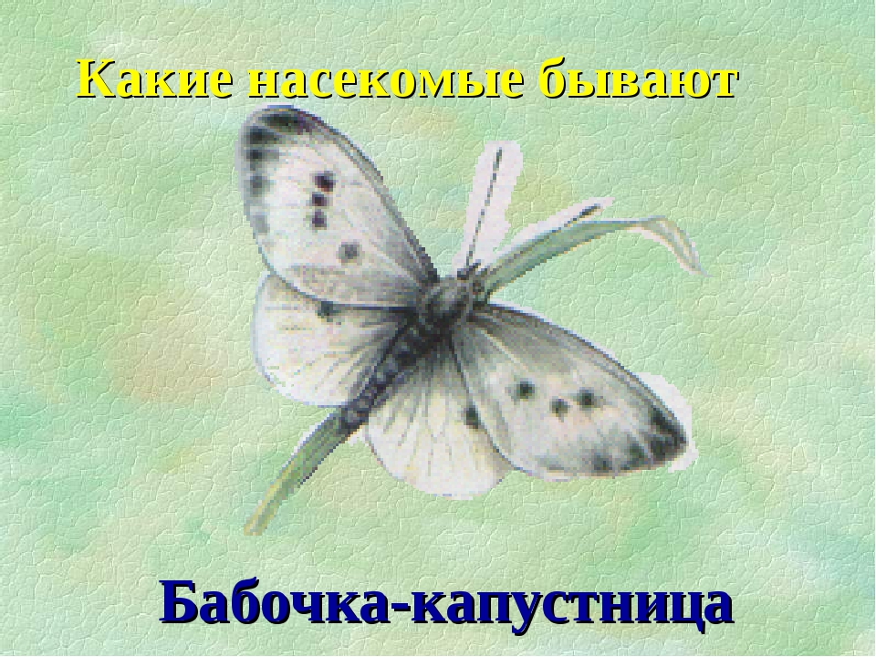 Бабочка-капустница Какие насекомые бывают
