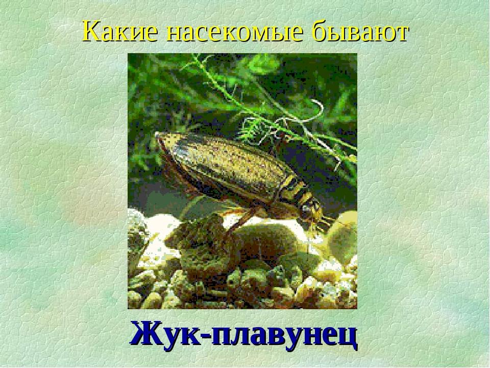 Жук-плавунец Какие насекомые бывают
