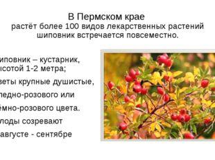 В Пермском крае растёт более 100 видов лекарственных растений шиповник встреч