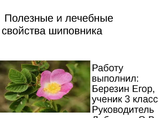 Полезные и лечебные свойства шиповника Работу выполнил: Березин Егор, ученик...