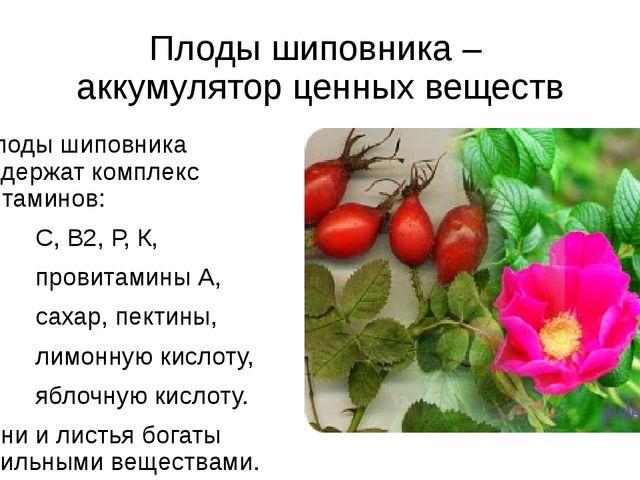 Плоды шиповника – аккумулятор ценных веществ Плоды шиповника содержат комплек...