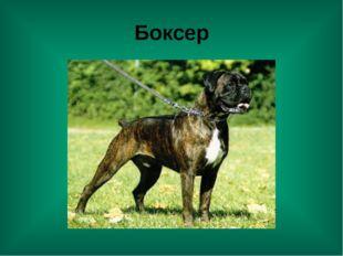 Боксер
