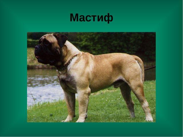 Мастиф