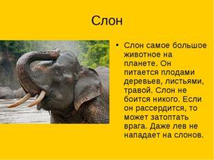 Слон Слон самое большое животное на планете. Он питается плодами деревьев, ли