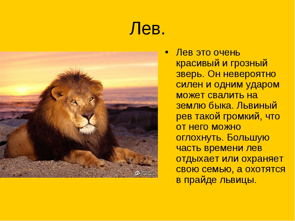 львы фото и описание фартук