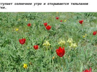 Но наступает солнечное утро и открываются тюльпанов лепестки.  И рассыпая ск