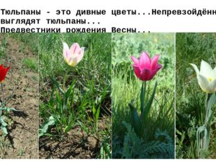 Тюльпаны - это дивные цветы...Непревзойдённо выглядят тюльпаны... Предвестник